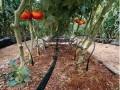 山东李庄镇农民种植大棚瓜菜年赚20万元