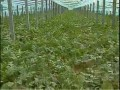 农业技术大棚栽培西瓜和苦瓜 (1323播放)
