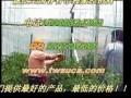 国外番茄种植栽培技术之绑枝机绑蔓器的操作视频 (811播放)