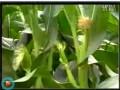 玉米种植1 (797播放)