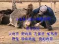 火鸡养殖 养殖技术 视频 农广天地 (1070播放)