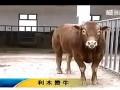 肉牛养殖技术视频 (776播放)