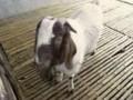 波尔山羊养殖技术 (910播放)
