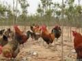 散养土鸡,养殖技术 (5524播放)