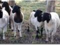 杜泊绵羊白头种公羊 (1129播放)