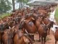 养羊场 种母羊日常养殖技术视频 (983播放)