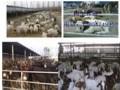小尾寒羊种公羊的日常管理技术视频 (784播放)