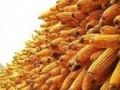 农业新天地鲜食玉米一年二茬栽培技术上20130530[普清版] (999播放)