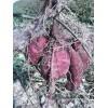 大量供应新鲜紫薯 越南紫薯 欢迎厂家批发合作 价格从优