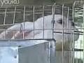獭兔养殖技术 (1081播放)