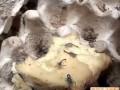 蝎子养殖视频 (1017播放)