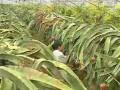 火龙果种植技术 (1153播放)