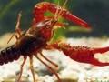 淡水小龙虾的养殖技术 (3810播放)