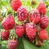 树莓苗全国树莓苗双季树莓苗