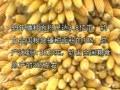 玉米的科学种植(上) (3980播放)