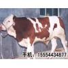 出售肉牛犊,育肥肉牛,繁殖母牛 西门塔尔牛 鲁西黄牛
