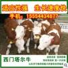 大小西门塔尔改良肉牛品种好价格最低