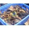 纯种台湾泥鳅苗出售,奥尼罗非鱼苗接受预定,价格面议