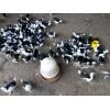 宜宾出售野鸡苗、珍珠鸡苗、贵妃鸡苗和各日龄脱温苗