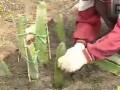 火龙果种植技术 (751播放)