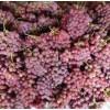 求购红提葡萄要求:无病虫害,不掉果,颜色红