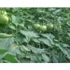 番茄3元/公斤
