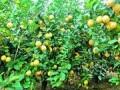 彝良县抓农产业稳增长促发展