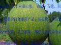 瓜蒌天瓜吊瓜黑豚黄精种植技术欣赏 (1147播放)