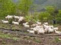 杨柳井乡依靠养羊走上致富路
