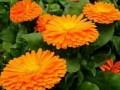 用花香带动乡亲致富——记永胜县光华乡花卉种植领路人芮泽儒