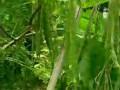 能吃的辣树 (5422播放)