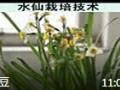 水仙花的养殖方法 (6863播放)