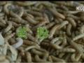 黄粉虫养殖技术 (2890播放)