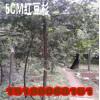5CM高品质红豆杉