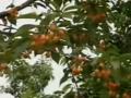 大樱桃实用栽培技术 (2699播放)