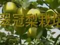 翠冠梨栽培 (2874播放)