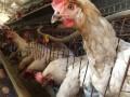 会泽养殖户王发东的创业之路:让鸡吃中草药 下生态蛋