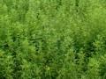最新药材种子种植 (3244播放)