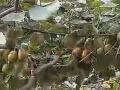 猕猴网 桃种植技术教程