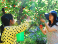 富民县赤鹫镇3000亩樱桃等客来尝鲜