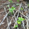 八角莲种苗,八角莲供货商家,八角莲产地供货