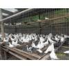 宣威肉鸽供货商家,宣威最低价格菜鸽