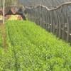 云南昆明宜良毛娟绿化苗木价格,毛娟绿化苗木市场批发商家