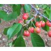 昭通市果苗培植基地专业供应水果苗, 大樱桃苗批发价格