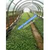 非洲菊种苗_云南非洲菊批发厂家(价格)13769181546