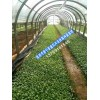 花卉种苗批发基地-昆明非洲菊批发市场