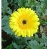 黄非洲菊种苗基地山,云南昆明非洲菊种苗供应