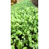 非洲菊花卉种苗,昆明花卉种苗市场批发价格