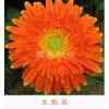 非洲菊系列-太阳种苗基地云南最大非洲菊种植基地