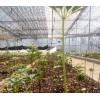丽江重楼苗、玛咖种苗、玛咖苗、桔梗种苗批发/零售商家